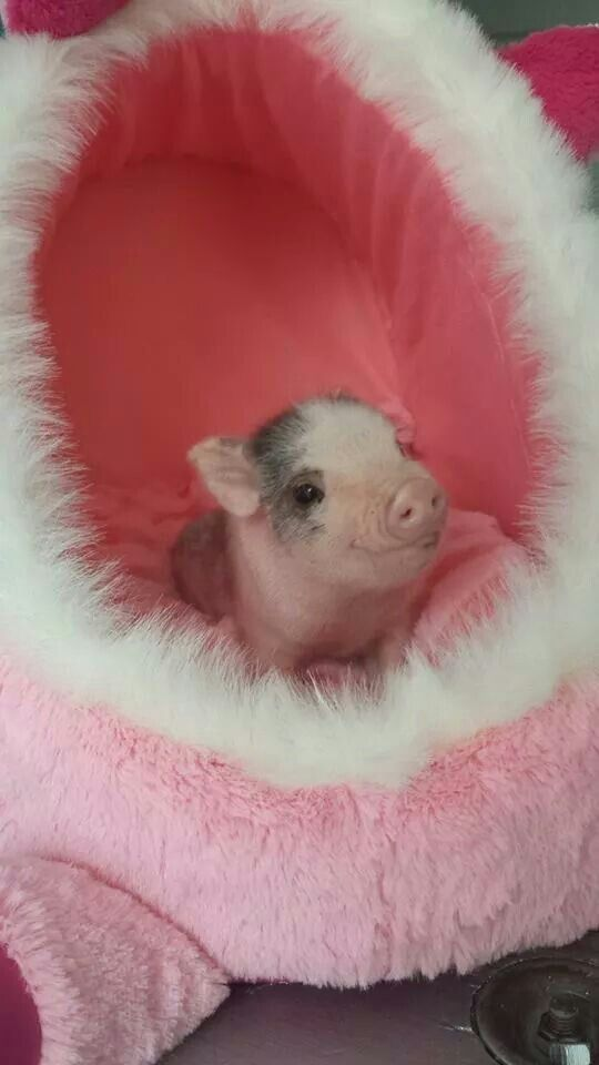 When I would have a little piggy, I would give him or/and her everything they want <3