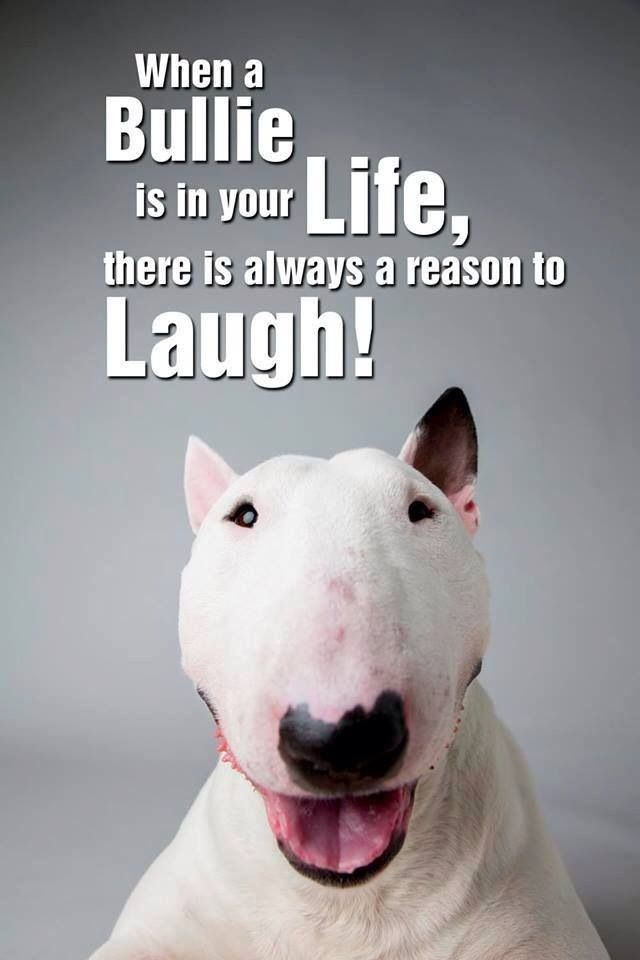 :) true statement #english #bullterrier | Bull terrier ...