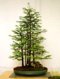 Bonsai Trees are Tiny Perfect Versions of their Big Brothers and Sisters. This one is a Tiny Redwood.