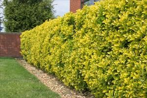 Euonymus japonicus 'Chollipo' - PNW Plants--Zone 6-7, Evergreen Shrub, 12'h x 6'w, full sun, no pests. Makes a nice hedge if planted 3' on center and pruned annually.