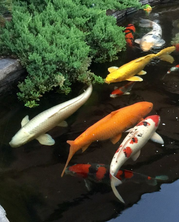 1134 best koi images on pinterest backyard ponds fish for Koi carp henlow