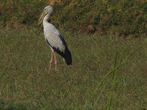 Greyedback Crane