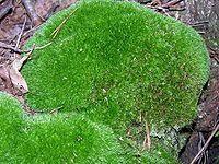 Bělomech sivý(Leucobryum glaucum)  je mech vytvářející velké polštáře. Bělomech sivý se používá při zařizování a výzdobě terárií. Roste na chudých půdách v jehličnatých lesích. Bývá jen vzácně plodný. V ČR po celém území.  Zachycuje velké množství vody