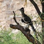 Roadrunner perched on a mesquite branch - Montezuma Castle National Monument