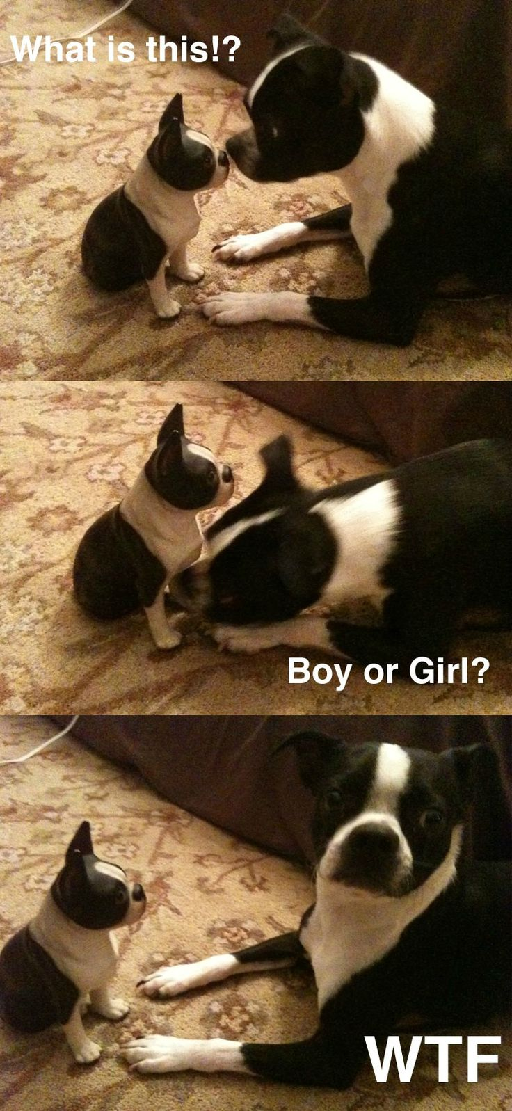Here is a funny picture sequence with a Boston Terrier dog wondering what is this?! In fact, this is a miniature boston terrier statue!