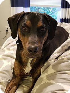 Sterling, VA - Hound (Unknown Type) Mix. Meet Biggie, a puppy for adoption. http://www.adoptapet.com/pet/18359393-sterling-virginia-hound-unknown-type-mix
