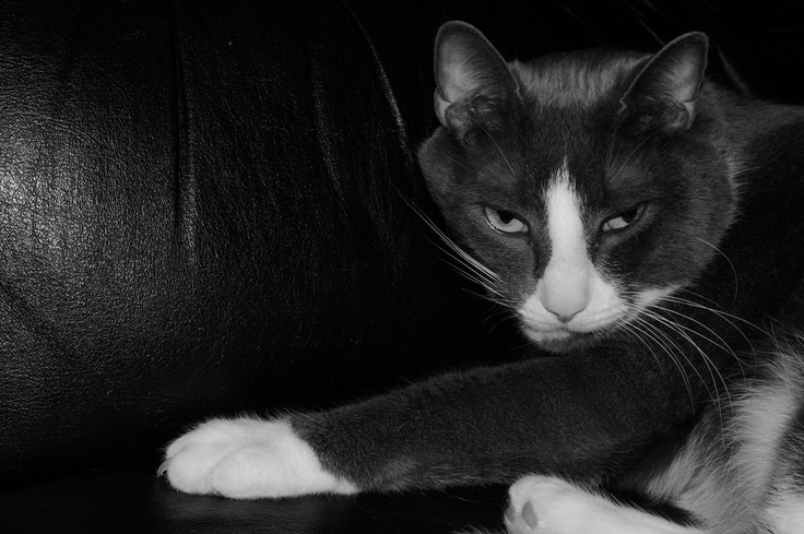 Grey and White Cat in Black and White