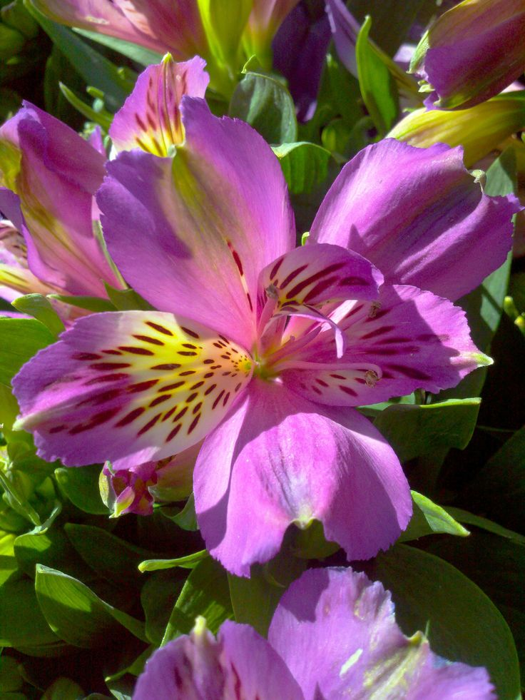 alstroemeria lively little purple blossoms flower garden pinterest flowers flower and. Black Bedroom Furniture Sets. Home Design Ideas