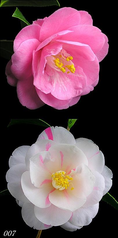 植物花卉 花 摄影 五色八重散椿,花期4--5月。开花分成白以…