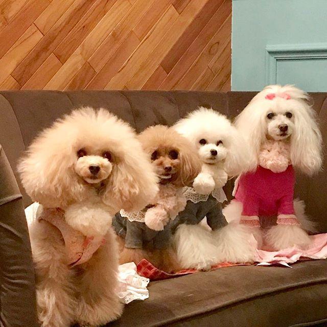 かわい子ちゃんたちとノングルカフェさんへ❤️ * お店の方もワンちゃんに優しくて居心地のいいところでした😊 * みんなでお揃いのマフラーは @glamourism_official さん * #グラマーイズム#ノングルカフェ#プチ新年会  #toypoodle#ilovemydog#dogfashion#dog#all_dog_japan#dogfriends#トイプードル#ふわもこ部#cutedog#愛犬#トイプードルアプリコット#トイプードルホワイト#白ぷー#dogstagram#petsagram#instadog