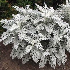 How To Care For Dusty Miller