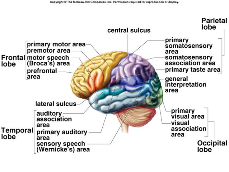Frontal Lobe Function Google Search Nursing Notes