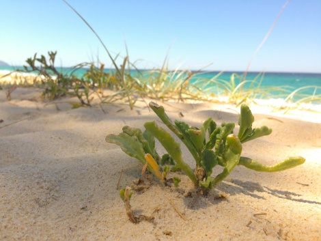 Succulents can store water to survive the dry and salty environments on a beach - by Funky Biology