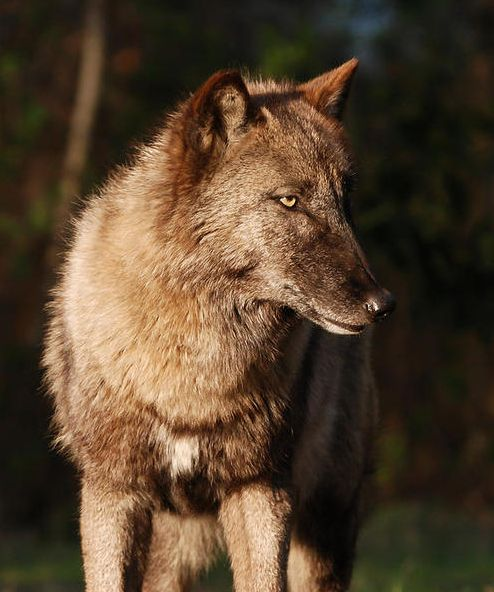 681 Best Images About ♡ Wolves & Other Wild Canines ♡ On