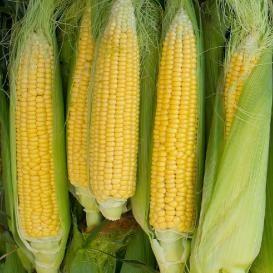 Corn Plant best 20+ corn plant ideas on pinterest | gardening direct, what is