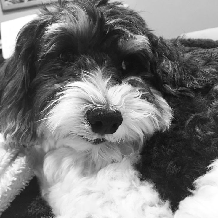 Black and White of our Black and White #dogsofinstagram #havanese