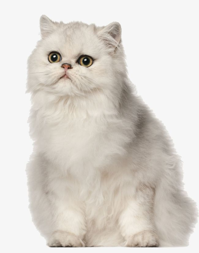 Lovely Persian White Cat Lovely Meng Meng Pet Png Transparent Clipart Image And Psd File For Free Download Persian Cat Cats Cute Cats And Dogs