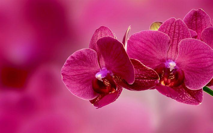 Lataa kuva Vaaleanpunainen orkidea, trooppisia kukkia, orchid sivuliikkeen, kauniita kukkia