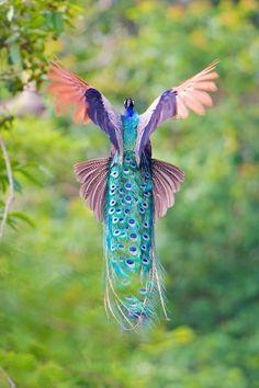 pavo real volando                                                       …