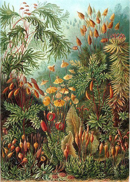 """Muscinae"" from Ernst Haeckel's"