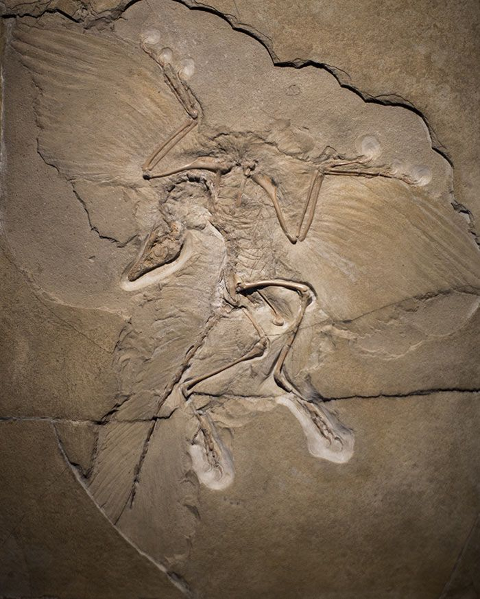 Archaeopteryx fossil   Photographed by Bryan Jones- Retinal neuroscientist and photographer