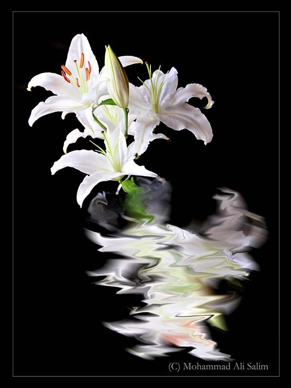 Lily with Reflection by Mohammad Ali Salim on 500px
