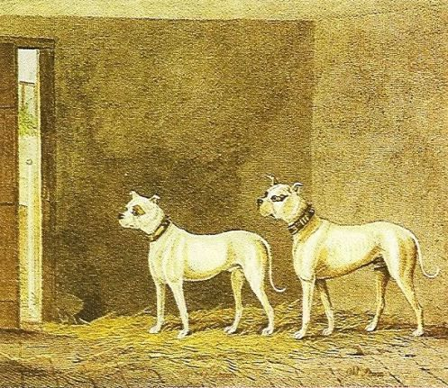 1824 БУЛЬДОГИ Белые ЯНГ СТОРМ и ОЛД СТОРМ. СПОРТИНГ МАГАЗИН. Лондон. Графика