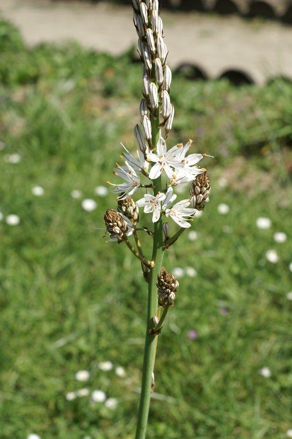 http://faaxaal.forumgratuit.ca/t2801-photo-d-asphodelacee-asphodele-blanc-asphodelus-albus-white-asphodel#4530