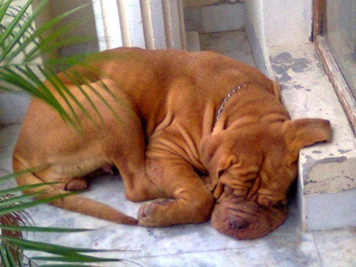 bordeaux mastiff   Bordeaux Mastiff For Sale   Angel   Patiala  INDIA   himanshu   Dogs ...