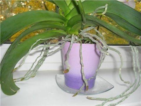 Как нарастить корни орхидеям Фаленопсис ( и др. тоже)_ 1 и 2 способы - YouTube