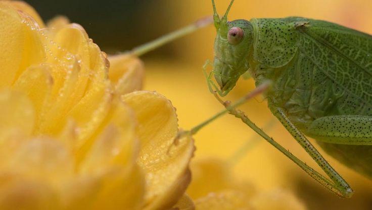 In Großaufnahme sieht man eine Heuschrecke, die auf einer gelben Blume sitzt.