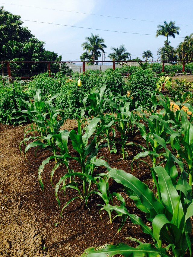 Hawaii, Vegetables Garden, Vegetable Gardening, Gardens, Vegetable Garden,  Outdoor Gardens, Garden, Hawaiian Islands, House Gardens