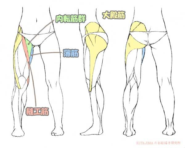 Gluteus Maximus muscle, Adductor muscle, Gracilis muscle,
