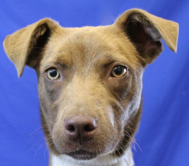 Gabby - Labrador Retriever/Hound mix - 1 yr old - Companion Animal Alliance - Baton Rouge, LA. - http://www.caabr.org/#!adopt/cihc - https://www.facebook.com/companionanimalalliance - http://www.petfinder.com/petdetail/29082843/
