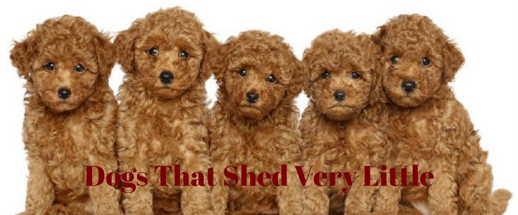 Dogs That Shed Very Little | Pet Quest