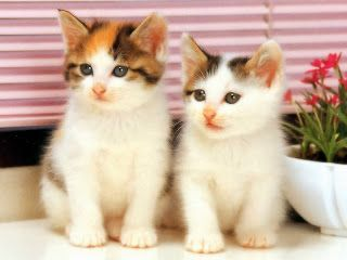 13 best cute cat wallpapers images on pinterest kitty cats hd wallpapers cute cat wallpapers voltagebd Gallery