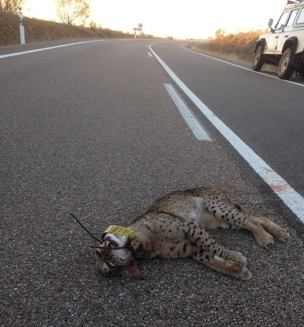 Aparece en Jaén el cadáver del noveno lince atropellado en Andalucía en lo que va de año