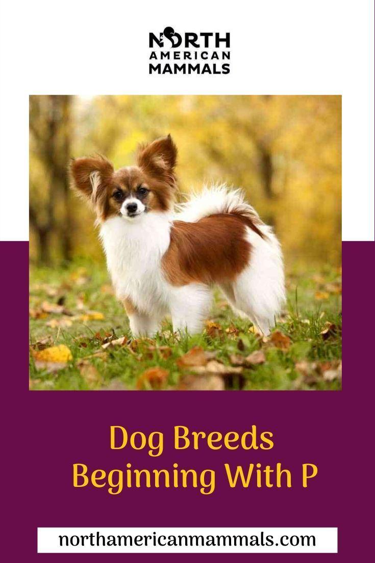 Dog Breeds Beginning With P Dog Breeds Mammals Dogs