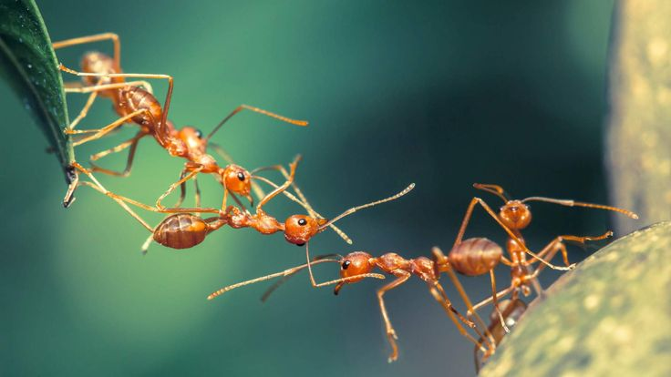 Popular Ants forming a bridge insects Nancy Larson Science Pinterest Car lights