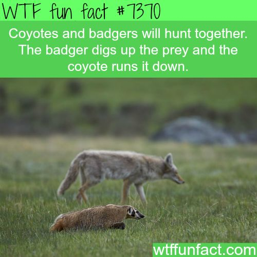 Coyotes and badgers work together to hunt prey - WTF fun facts