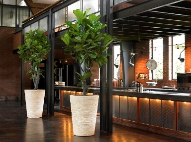 Big Bold Ficus Lyrata in hand finished planters bring life to a reception area  Inspirations