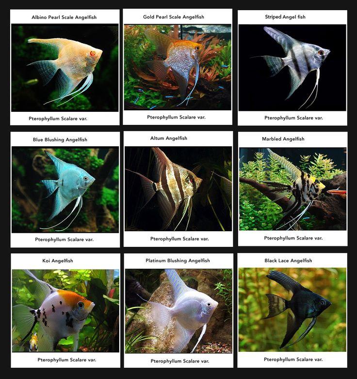 Les Scalaire ou Angelfish en anglais.