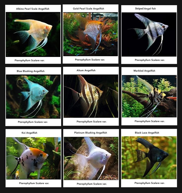 Angelfish Do not keep small fish like tetras or anything else under 2.5 to 3 cm long with Angelfish – you will be providing them with an expensive lunch! If you absolutely must have tetras in your tank, add them when the Angelfish are very young. When they grow up together, the tetras might not be considered food. Also avoid overly aggressive tank mates, or fin nippers like Tiger Barbs or Serpae Tetras. Because of their curiosity, Betta Splendens and Gouramis are not a wise choice either…