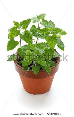 Catnip in pot