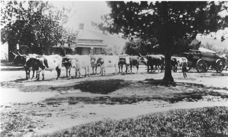 Photograph of a bullock team in Bell Street Yarra Glen (opposite Herbert Lane) in early twentieth century. The bullock wagon is loaded with timber. In the background is the general store (concealed behind tree) and its residence.