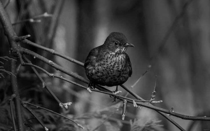 Female Blackbird in Black and White. - The males live up to their name but, confusingly, females are brown often with spots and streaks on their breasts. The bright orange-yellow beak and eye-ring make adult male blackbirds one of the most striking garden birds. One of the most common UK birds, its mellow song is also a favourite.  https://www.rspb.org.uk/birds-and-wildlife/wildlife-guides/bird-a-z/blackbird/