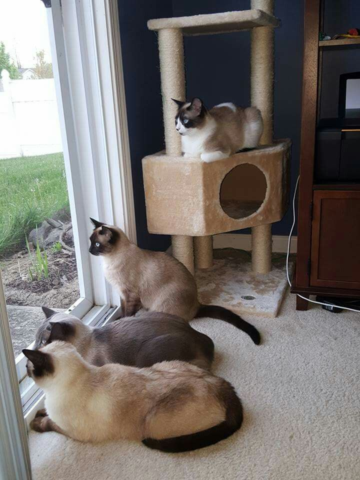 These Siamese cats remind me so much of my 2 Burmese, looking outside. A pack of cats.