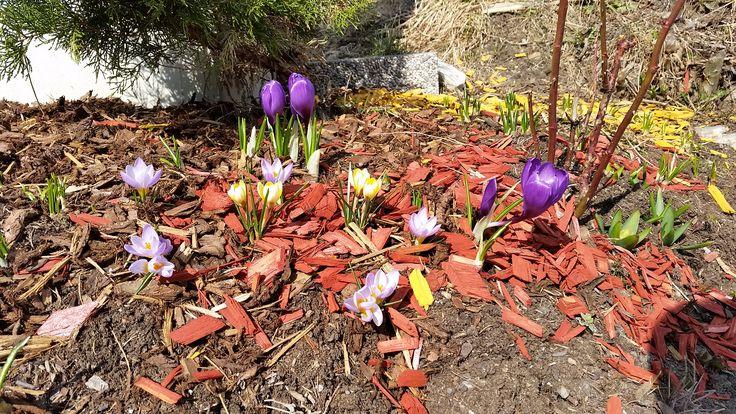Die ersten Frühlingsboten am Berg - es wird bunt ums Hotel Almrausch**** in Bad Kleinkirchheim, Kärnten. www.almrausch.co.at