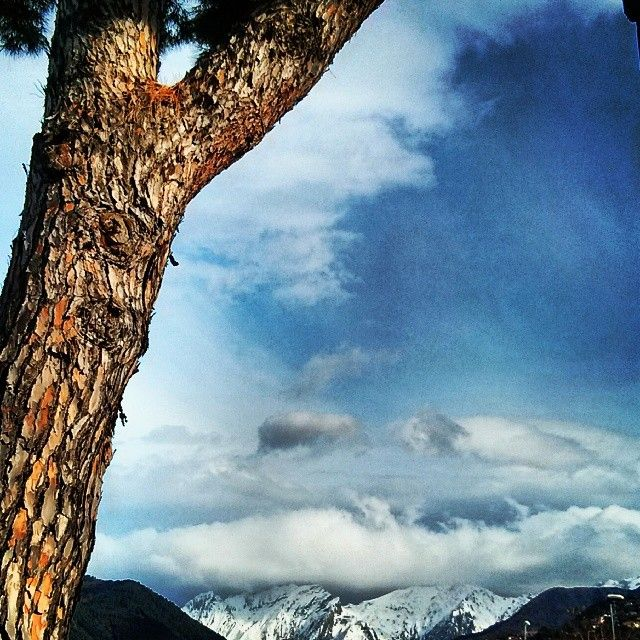 Pino marittimo & Alpi Apuane, Massa (Italy). © Valentino Liberto