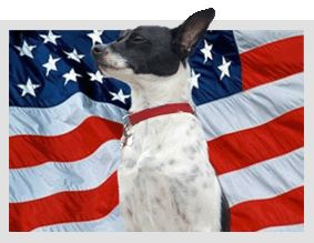 All Amercian Rat Terrier .. named by President Roosevelt after performing his patriotic duty to secure the Whitehouse!